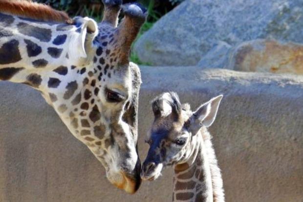 Мировая популяция жирафов на грани вымирания