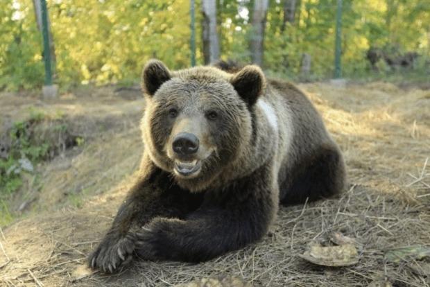 Атаковал с разбега. Камеры сняли нападение медведя на человека