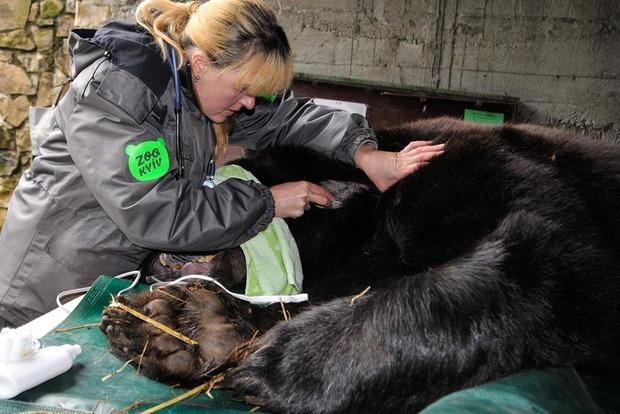 Бурому медведю провели тяжелую стоматологическую операцию в нацпарке «Синевир»