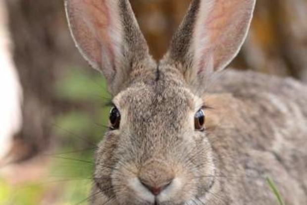 Кролик перехитрил кошку, но попался в лапы совы. Видео