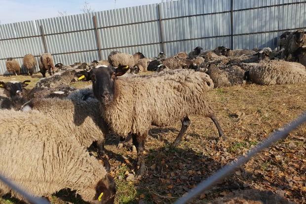 300 овець: що зараз відбувається з замореними голодом в порту тваринами