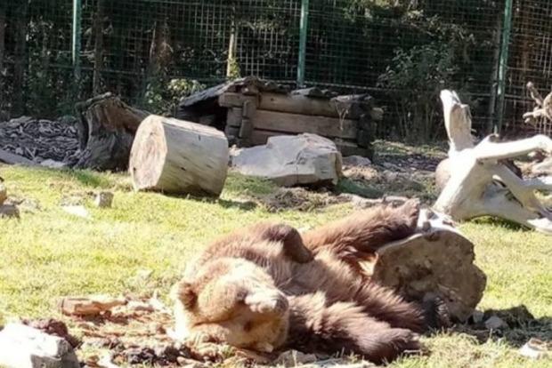 Осталось всего 300 особей. Браконьеры уничтожили всю популяцию медведей у Карпатах
