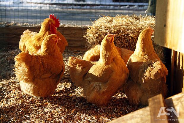 Ядовитый фипронил, обнаруженный в курятине в ЕС, не запрещен в Украине