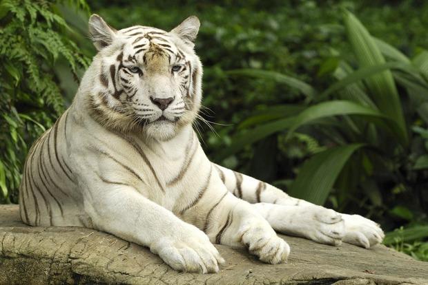 В Индии два белых тигра убили смотрителя национального парка