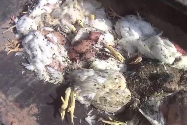 Такое смоешь только хлором: СМИ показали ужасающие условия выращивания птицы в США