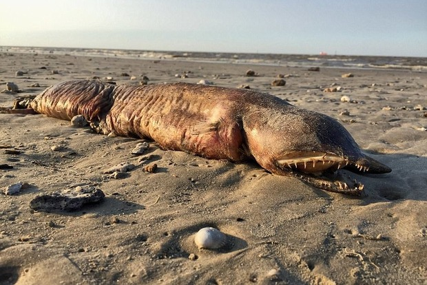 Ураган «Харви» выбросил на пляж Техаса невиданное морское существо
