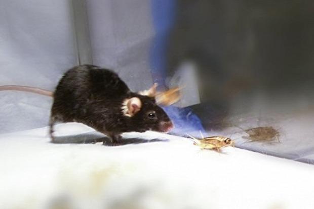 Мыши-зомби: Ученые превратили мышей в агрессивных хищников