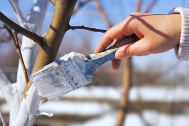 В Киеве запретили белить деревья и бордюры