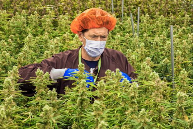 Упс! За три недели легалайза в Канаде скурили всю марихуану