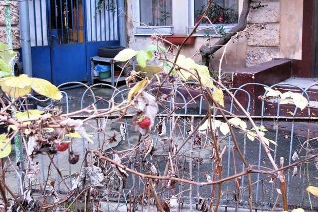 На Новый год в Одессе неожиданно созрела малина