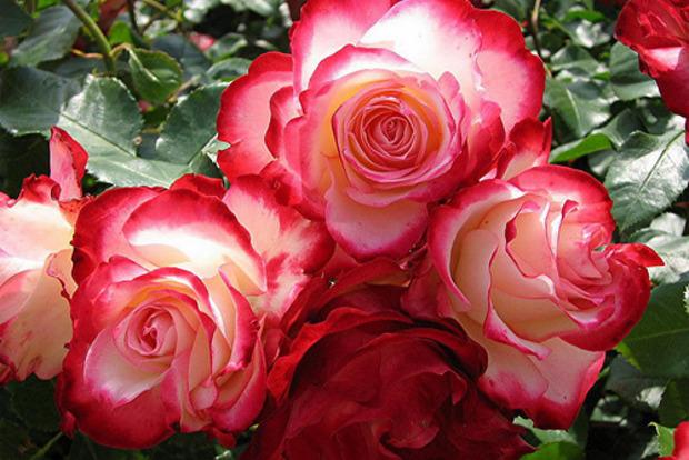 Почему дома нельзя держать розы