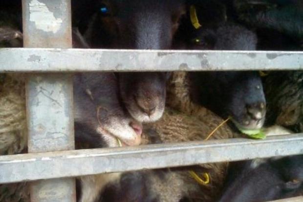 Как там овцы? Свежая информация о животных-скитальцах