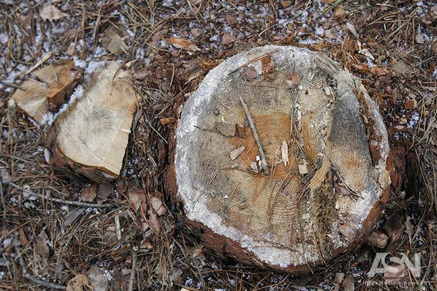 По 5-6 лесовозов: в Чернобыле идет масштабная вырубка леса – якобы в санитарных целях