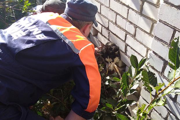 Застрягла головою: як миколаївські рятувальники витягали хаскі зі стіни