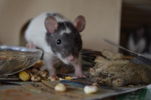Крыса вметро Нью-Йорка: небольшой грызун «поставил науши» пассажиров вагона