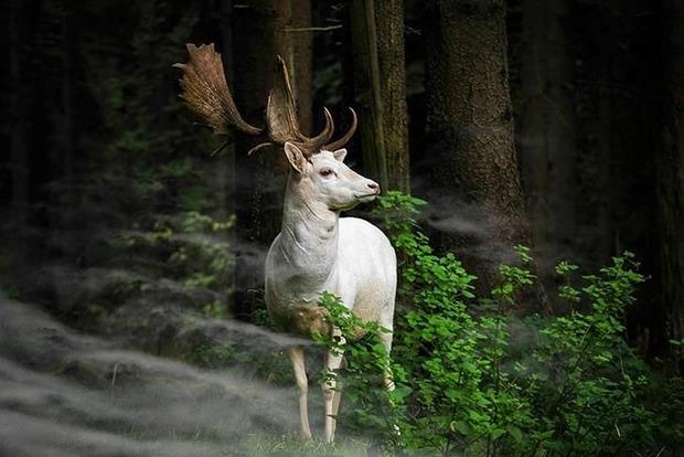 В лесах Гайсинского района живет белая лань (фото)