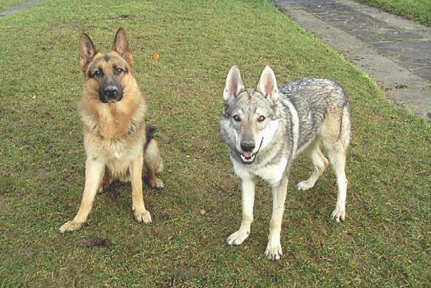 Ученые считают, что собаки эгоистичнее волков