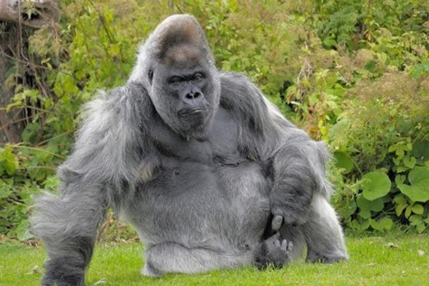 Одна из старейших горилл мира умерла в британском зоопарке