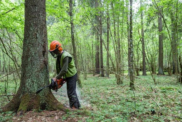Польша вырубает уникальные реликтовые леса Беловежской пущи. ЕС негодует