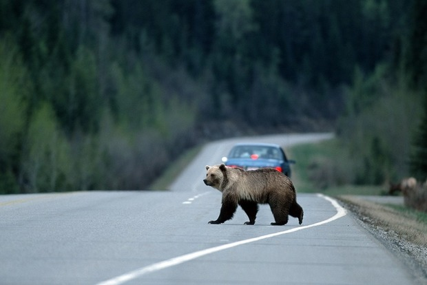 Медведь неожиданно стал причиной смерти троих американцев