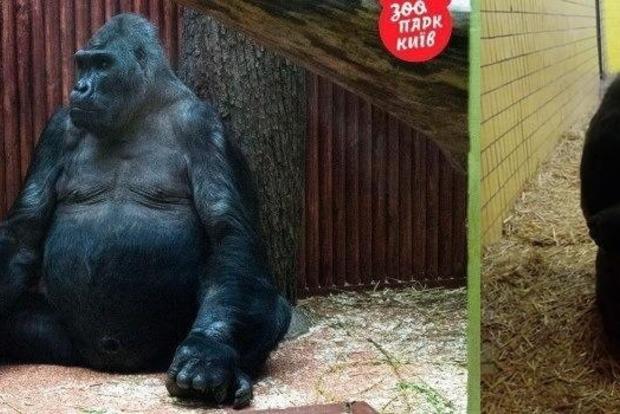 Горилла Тони, любимица жены Кличко, умирает в киевском зоопарке