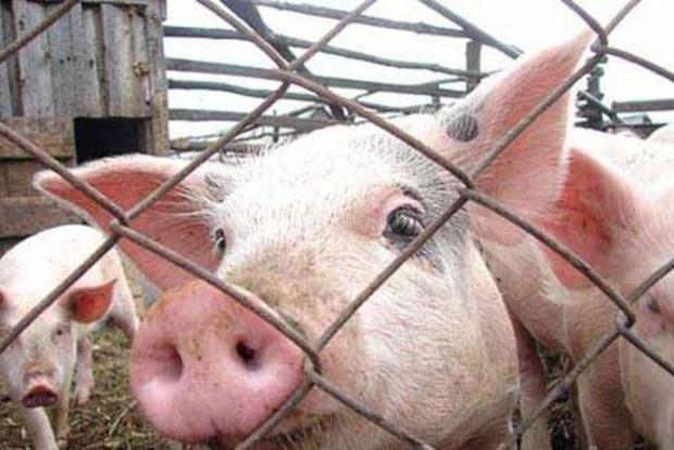В Одесской области зафиксирована очередная вспышка чумы свиней