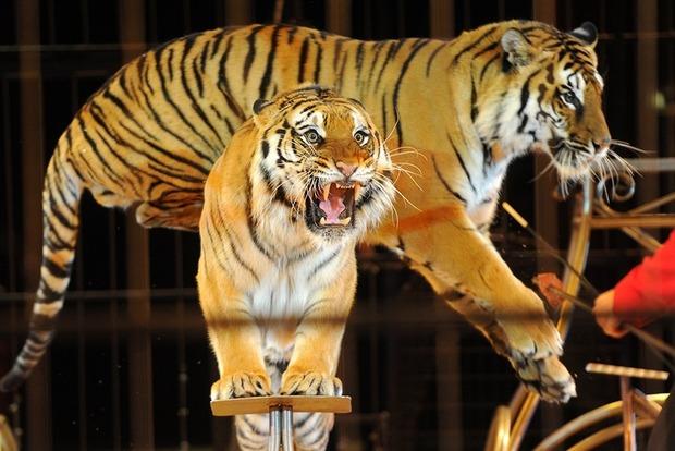 Тигр вырвался из клетки и атаковал посетителей цирка