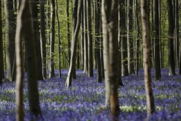 В Бельгии расцвел сказочный лес, покрытый дикими гиацинтами