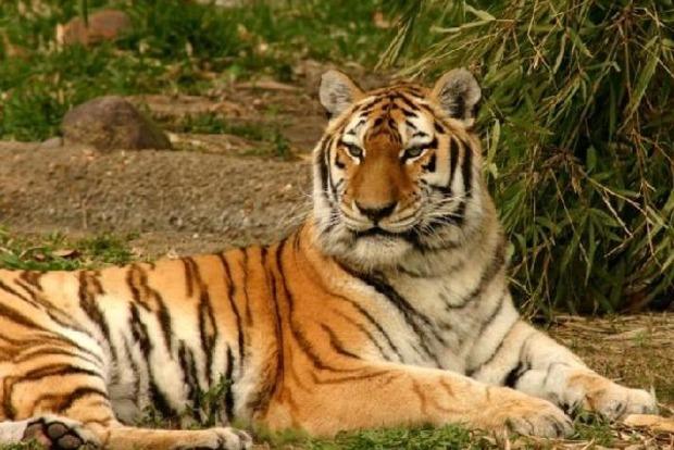 В Таиланде возродилась популяция индокитайских тигров