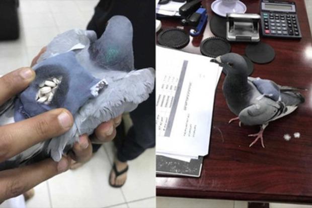 В Кувейте поймали голубя c полным рюкзаком наркотиков