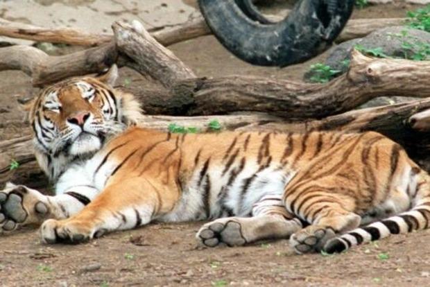 В Николаевском зоопарке мужчина погиб, упав в вольер с тиграми