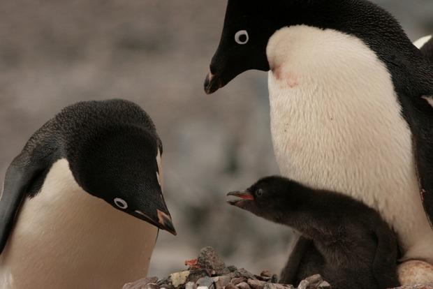 В Антарктиде погибли десятки тысяч птенцов пингвинов