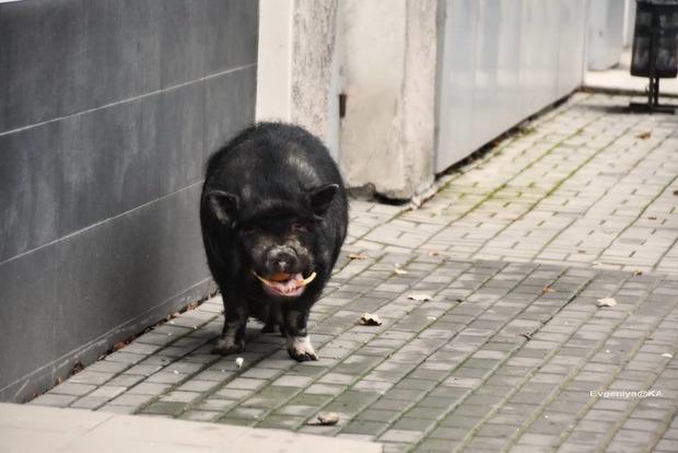 Черная лысая свинья взбудоражила оккупированный Донецк