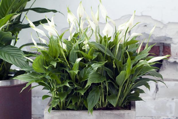Растения, приносящие в дом гармонию, любовь и счастье