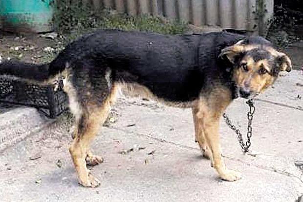 Чем кончилась история с собакой, которую таскали на цепи за машиной