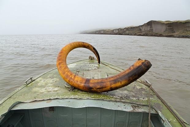 В России украинец попался на контрабанде бивня мамонта