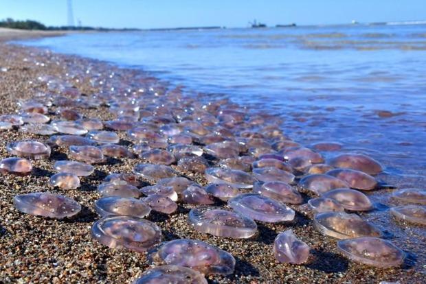 Медузы продолжают атаковать пляжи Кириловки. Объяснение специалистов