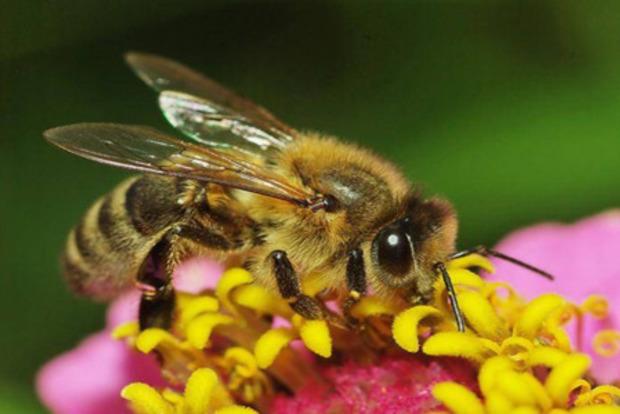 Потравили заповедник: на Днепропетровщине снова массово погибли пчелы