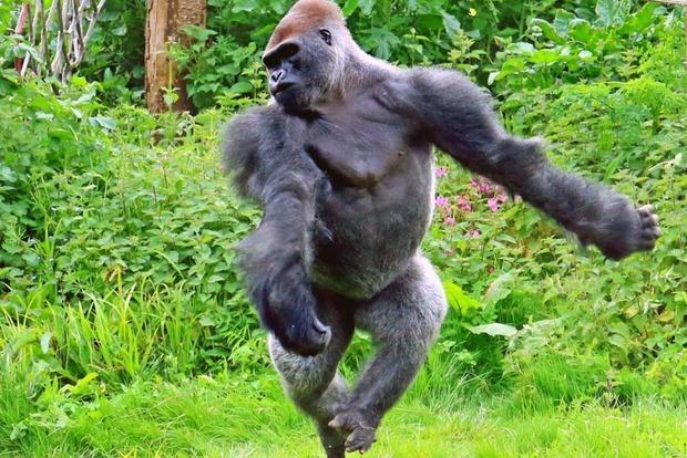 Нельзя секс с гориллой