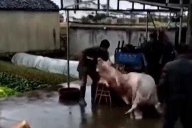 Свинья в Китае сумела вызволить собрата из-под ножа мясника