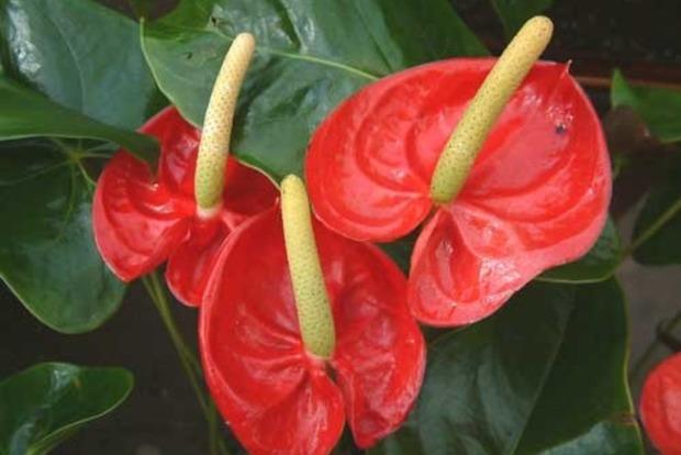Цветок «Мужское счастье»: приметы и суеверия про антуриум