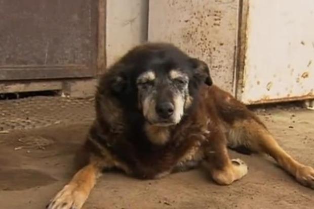 В Австралии живет самая старая собака в мире