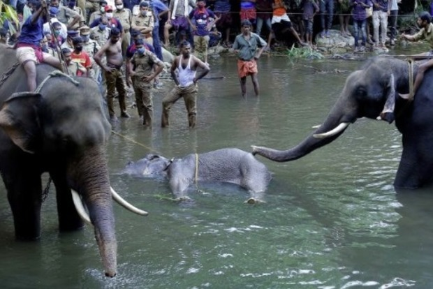 Беременная слониха умерла в Индии после того как съела фрукты с петардами
