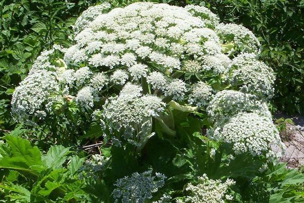 Одно из самых ядовитых растений мира стремительно захватывает Британию