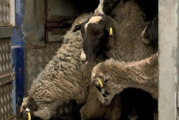 Слишком ослабли: овцы из фуры продолжают гибнуть в Тульчине