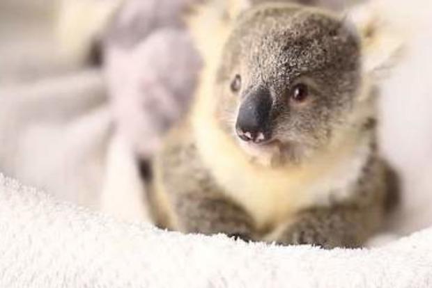 Маленькая коала покорила интернет-пользователей