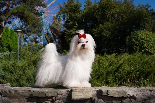 Мальтийская болонка - собака французских монархов и гламурных прелестниц