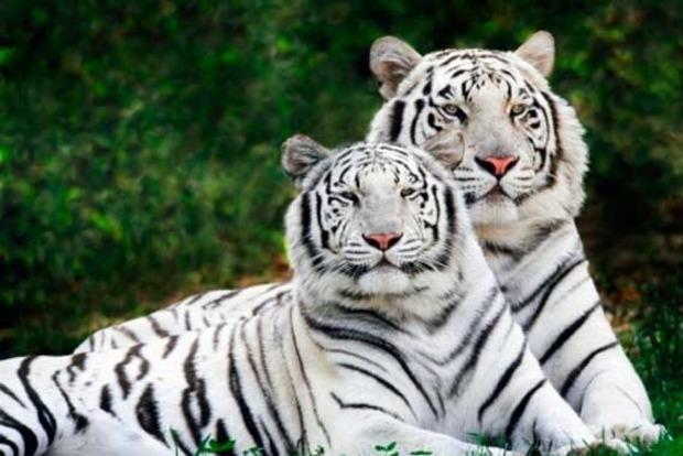 Убердянському зоопарку всупереч законам природи народила біла бенгальська тигриця