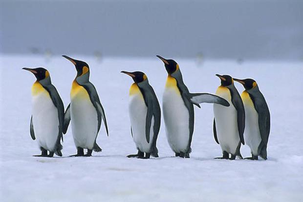 В новейшей Зеландии отыскали кости огромных пингвинов