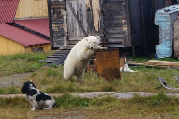 Новую Землю атаковали медведи. Введен режим ЧС